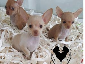 Chihuahua Erkek köpek