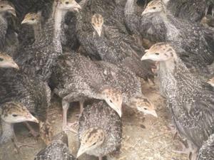 Çakmakköy Köyü hayvanlar ilanı