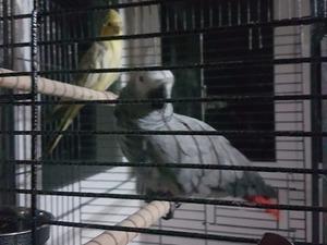 Afrika gri papağanı / jako papağanı ilanları