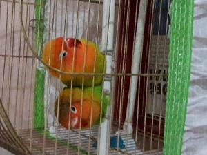 Cennet papağanı ilanları