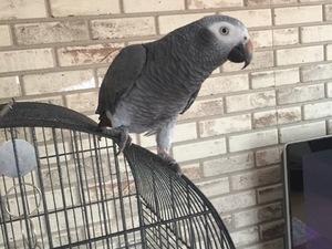 Afrika gri papağanı / jako papağanı Sahibinden Caddebostan Mah.