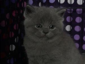Scottish straight kedi Bahçelievler