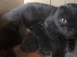 Scottish fold kedi Karşıyaka