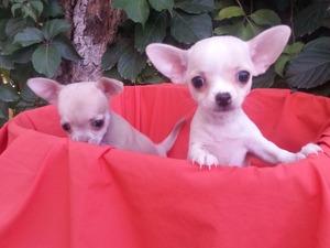 Chihuahua Çırpan Mah.