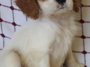 köpek Cavalier king Charles fiyatları