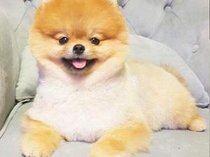 köpek Pomeranian fiyatları