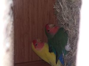 Cennet papağanı Dişi ve Erkek Papağan