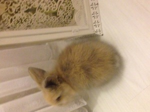 Diğer tavşan ırkı Dişi ve Erkek Adnan Kahveci Mah.