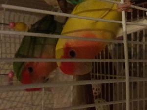 Cennet papağanı 2