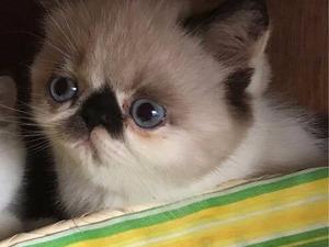 Egzotic shorthair Dişi kedi