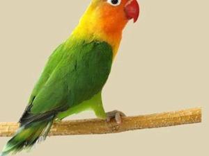 Cennet papağanı 6-12 Aylık Yeni Mah.
