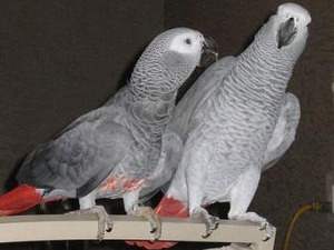 Yeşiltepe Mah. Papağan fiyatları