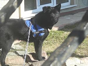 Labrador Dişi köpek