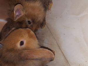 1 aylık yavru tavşan 8 tane lop aslan yelesi kırması