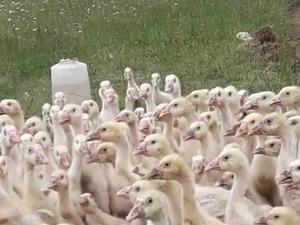 2018. Sezonunda Çin ve Linda kazı Civcivi Sipariş Alınır