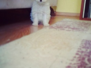White terrier köpek Osmangazi
