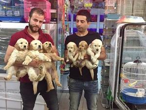 Golden retriever Dişi ve Erkek köpek