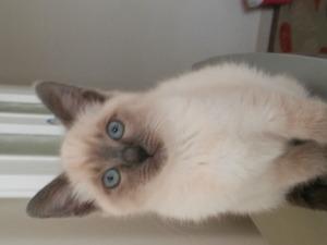 İnönü Mah. kedi ilanları