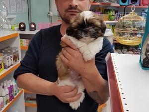 köpek Shih-Tzu fiyatları