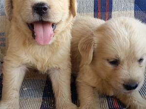 yaş 0-3 Aylık köpek Birlik Mah.