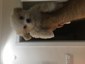 Maltese terrier Dişi köpek