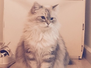 kedi ilanlari İncek Mah.