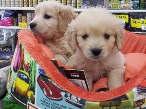Ostim OSB köpek ilanları