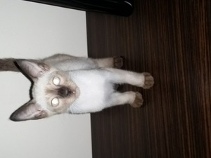 Reşadiye Mah. kedi ilanı