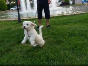 Airedale terrier yaş 0-3 Aylık Soğuksu Mah.