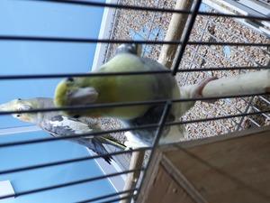 Sultan papağanı Erkek Papağan