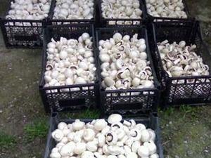 üreticiden satılık kültür mantarı kandıra