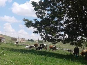 Boyalı Köyü hayvanlar ilanları
