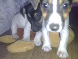 Parazit tedavisi yapılmış Jack Russel terrier