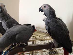 Demircilik Mah. Papağan ilanı