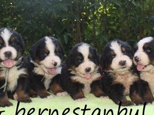 köpek Bernese fiyatları
