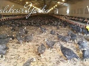 Demirköy Köyü hayvanlar ilanı