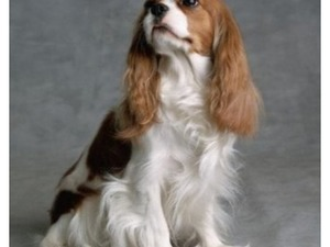 King charles spaniel Dişi ve Erkek köpek