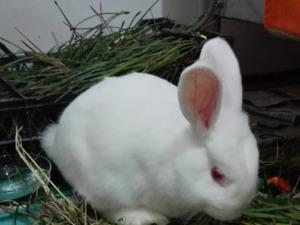 tavşan Diğer tavşan ırkı fiyatları