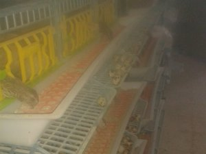 Kıranyağmur Köyü hayvanlar fiyatları