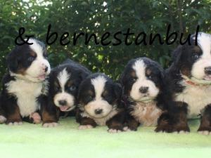 Bernese yaş 0-3 Aylık