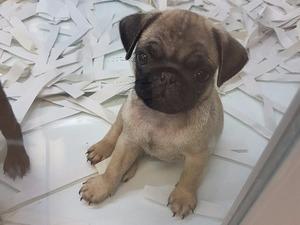 köpek Pug fiyatları