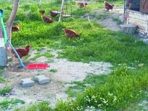 Büyükakçaalan Köyü hayvanlar ilanları