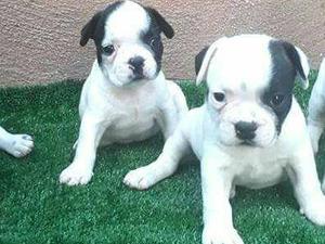 erkek french bulldog yavru dişi french bulldog yavru