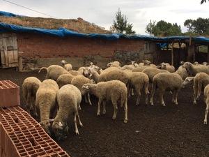 Karayusuflu Köyü hayvanlar ilanı