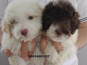 Diğer köpek ırkı yaş 0-3 Aylık
