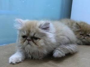 0-3 Aylık kedi Balat Mah.