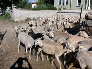 Kolankaya Köyü hayvanlar ilanları