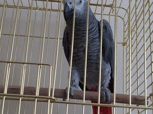 Afrika gri papağanı / jako papağanı Erkek Papağan