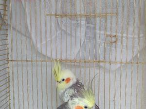 Sultan papağanı 3-6 Aylık