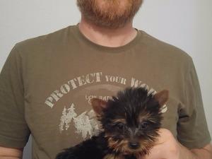 Yorkshire terrier Dişi ve Erkek köpek